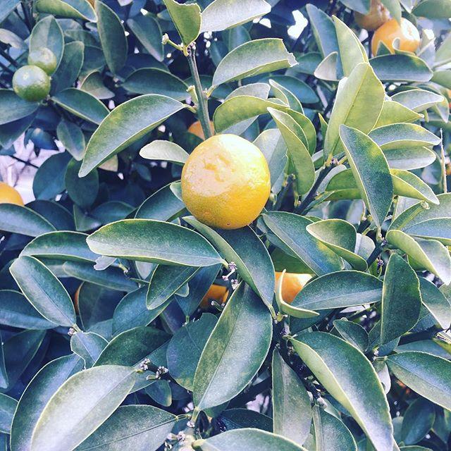 金柑が食べごろ。#金柑 #金柑の木 (Instagram)