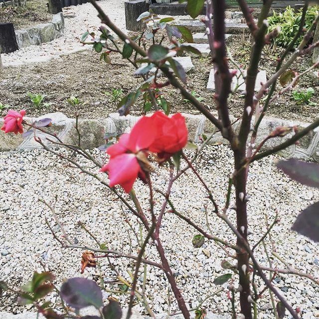 冬の赤い花は綺麗に映える♪#SUDACH#蘇大地#花#バラ #冬 #薔薇 (Instagram)