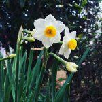 スイセンの花もソロソロ