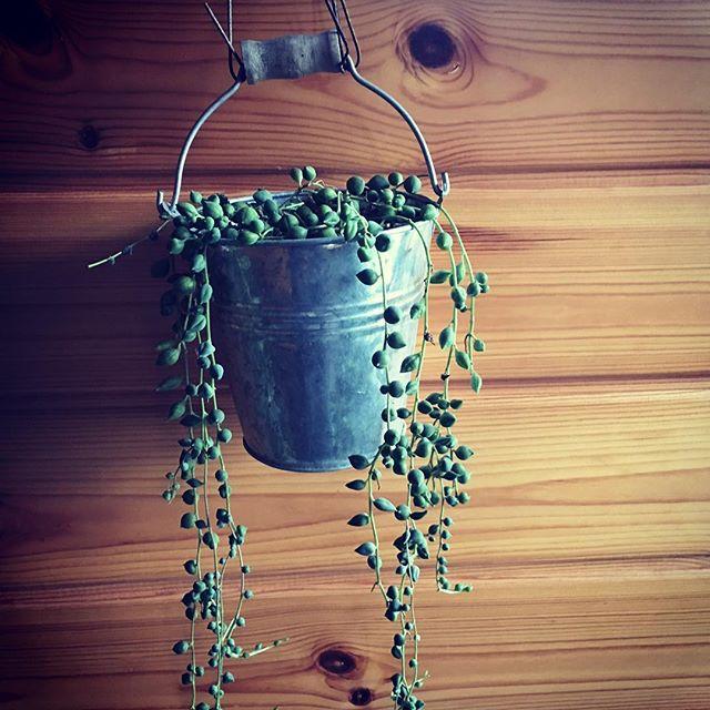 このプチプチ感がたまらないですね♪#sudach #蘇大地 #田舎 #田舎暮らし #田舎あるある #多肉植物 #観葉植物 #観葉植物インテリア #観葉植物のある暮らし (Instagram)