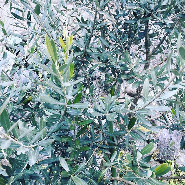 オリーブの木はドンドン大きくなるけど、実はならず...。#sudach #蘇大地 #田舎あるある #田舎暮らし #田舎 #オリーブの木 #オリーブ #olive (Instagram)