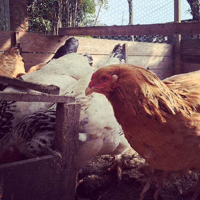 お食事の時間♪#sudach #蘇大地 #田舎暮らし #田舎 #鶏 #養鶏 #chicken #chickens (Instagram)