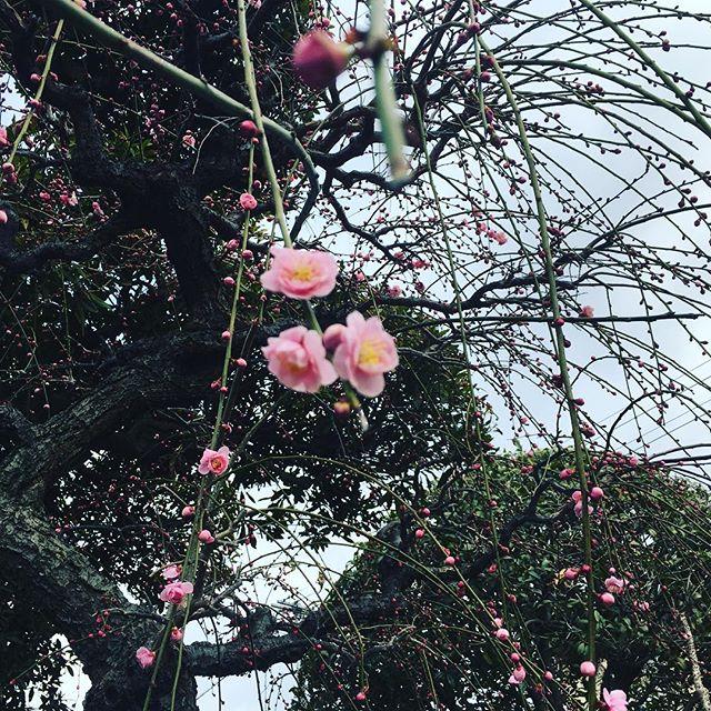見頃はもう少し先ですね♪#sudach #蘇大地 #田舎暮らし #田舎 #花 #花のある暮らし #春 #梅 (Instagram)