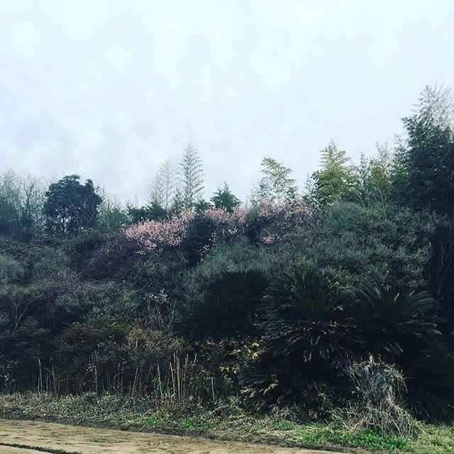 ピンク色が増えてきました♪#蘇大地 #sudach #田舎暮らし #田舎 #風景 #風景写真 #春 #花 (Instagram)