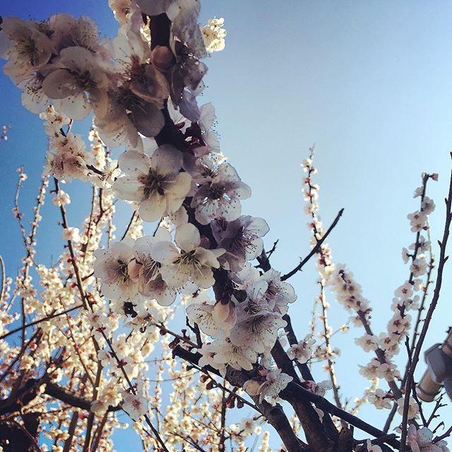 梅が一気に満開に♪#sudach #蘇大地 #田舎暮らし #田舎 #梅 #花 #花のある暮らし #春 (Instagram)