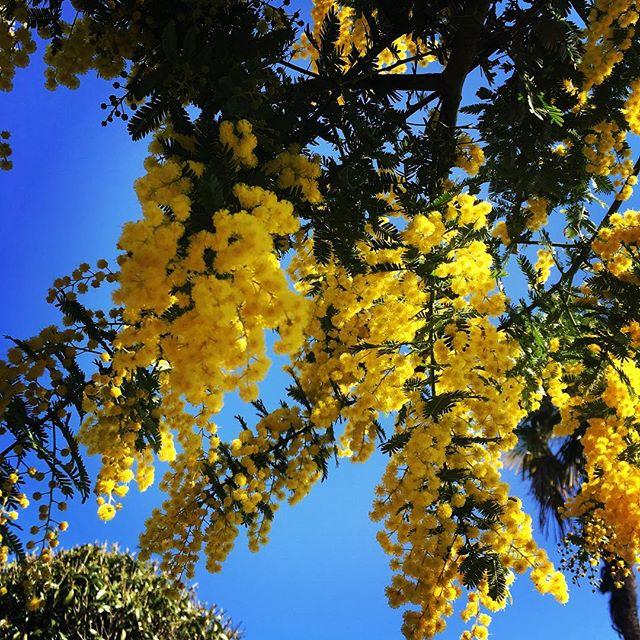 ミモザがキレイに咲きました!#sudach #蘇大地 #田舎暮らし #田舎 #花 #花のある暮らし #ミモザ (Instagram)