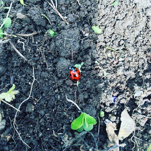 ななつ星てんとう虫発見!#sudach #蘇大地 #田舎 #田舎暮らし #春 #てんとう虫 #畑 #畑仕事 (Instagram)