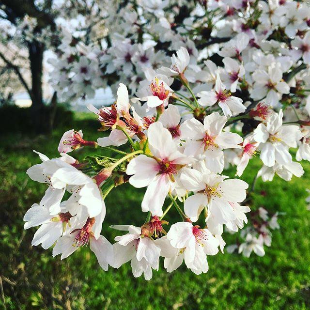 桜もそろそろ最後かな#蘇大地 #sudach #桜 #お花見 #春(Instagram)