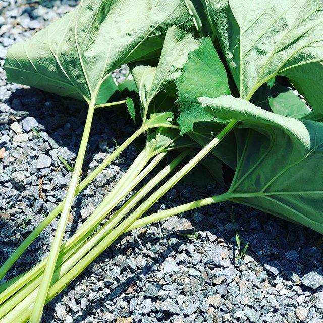 フキの収穫。#sudach #蘇大地 #フキ #田舎 #田舎暮らし #ゴールデンウィーク2018(Instagram)