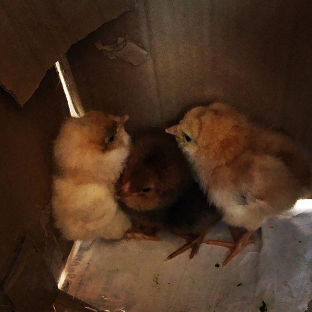 ヒヨコが産まれました♪#sudach #蘇大地 #鶏 #ニワトリ #にわとり #ヒヨコ #ひよこ #孵化 #可愛い(Instagram)