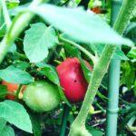 トマトが食べごろ#トマト #家庭菜園 #蘇大地 #sudach #大玉トマト(Instagram)