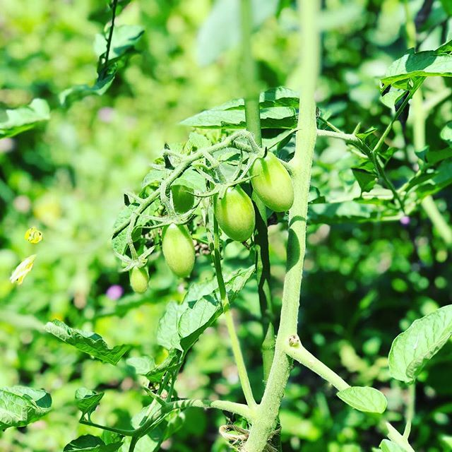 赤くなるのが楽しみデス♪#蘇大地 #sudach #トマト #ミニトマト #家庭菜園(Instagram)