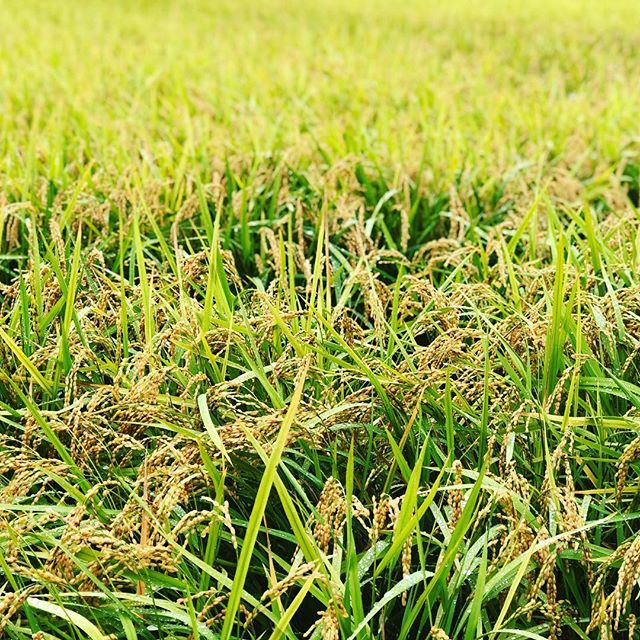 だいぶ秋めいてきましたね!#sudach #蘇大地 #田舎 #田舎暮らし #稲 #秋 #稲穂(Instagram)
