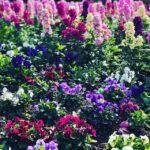 冬の花が満開ですね。#sudach #蘇大地 #田舎 #田舎暮らし #パンジー(Instagram)