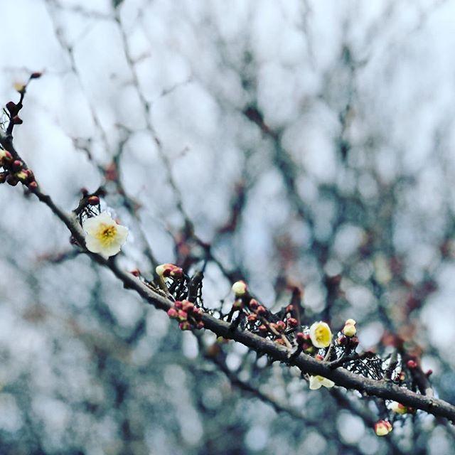 寒いけど、もう梅の花が。#sudach #蘇大地 #田舎 #田舎暮らし(Instagram)